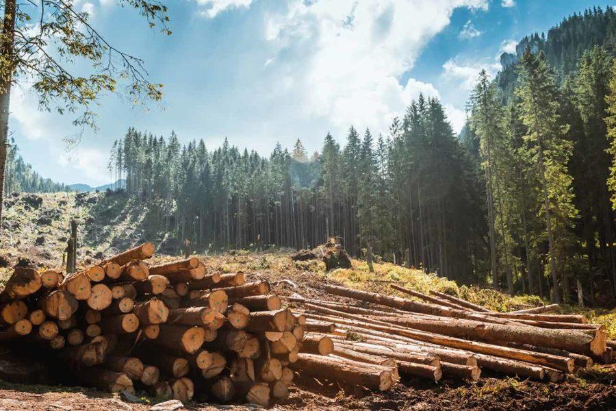 Bosaanzicht Met Op De Voorgrond Gekapte Bomen